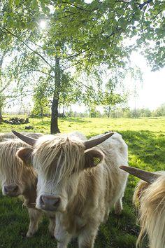 Highland Cattle in Lövhult, Småland, Sweden