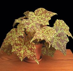 Begonia 'Marmaduke' (Begonia rhizomatous hybrid)