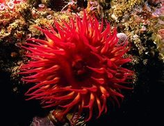 Image of a northern red anemone on a coral reef.  seasky.org
