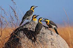 Pica-pau-do-campo (Colaptes campestris) Aves do Brasil by Araquém Alcântara