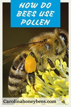 Pollen plays a vital role in the life of bees. Without the benefits of pollen to bees and other insects, the colony would fail. Learn why bees collect pollen on their legs and return to the hive. And, how bees use pollen to grow their family. How To Help Bees, Honey Bee Pollen, Honey Bees, Bee Friendly Flowers, Humble Bee, Beekeeping For Beginners, Raising Bees, Backyard Beekeeping, Beekeeping Course