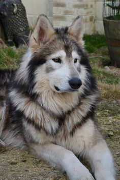 Northern Inuit Dog. Bred to look like a wolf, this is the breed they used on Game of Thrones for the direwolves.