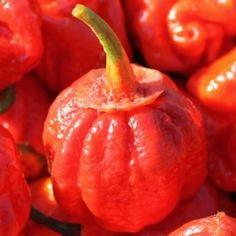 Chili 7 Pot Bubblegum (Schärfe 10+) (Samen) Capsicum chinense Besonderes Merkmal sind die Kelchblätter, die nicht wie bei allen anderen Chilisorten typisch grün gefärbt sind, sondern rot! Es ist eine rare Sorte der berühmten 7 Pots. Diese heißen so, weil sie fähig sein sollen, Geschmack und Schärfe in sieben Eintöpfe zu bringen (1 Schote wohlgemerkt).
