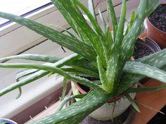 Aloévera Aloe Vera, Bonsai, Indoor Plants, Gardening, Inside Plants, Lawn And Garden, Horticulture, String Garden