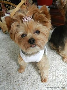 such a fashionable little pup <3 #yorkie #dogs