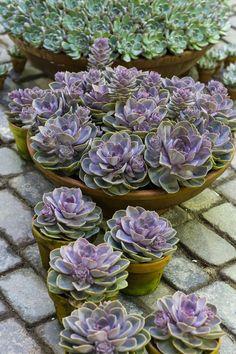 """Impossível não se apaixonar pelas exóticas suculentas. Essas plantas charmosas transformam qualquer canteiro em um universo de formas e texturas. Irmãs dos cactos, algumas costumam ter uma espécie de """"pêlo"""" nas folhas, outras uma camada de cera, mas ambas as coberturas previnem ..."""
