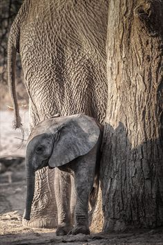 Elephants, Brandberg, Namibia