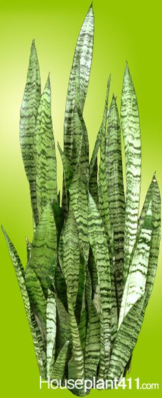 a handy guide to the snake plant mother in law 39 s tongue in 2018 garden pinterest plants. Black Bedroom Furniture Sets. Home Design Ideas