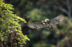 O voo imponente do gavião-de-penacho (Spizaetus ornatus) está em risco. O apacamim, como também é conhecido, é um predador de topo do reino animal e é considerado pela União Internacional para a Conservação da Natureza e dos Recursos Naturais (IUCN) como espécie quase ameaçada: http://abr.ai/1uFJipP