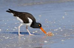 Oystercatcher by PictureOnTheWall, via Flickr