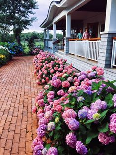 tracingthetides:  Hydrangeas just might be heaven --- I'm dreaming of a hedge of hydrangeas!