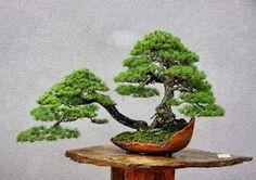 White pine double trunk