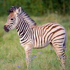 Baby zebra. ..aww