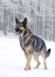 Female German Shepherd Names Perfect For Your Girl
