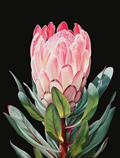 Ora Sorensen Still-Life Painting: Protea I Flor Protea, Protea Art, Protea Flower, Flower Power, Australian Native Flowers, Painting Still Life, Flowers Nature, Botanical Art, Love Art
