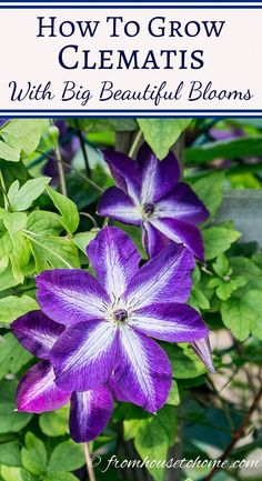 Clematis Care: How To Grow Clematis With Big Beautiful Blooms