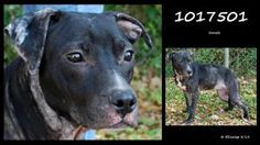 FLORIDA URGENT ID 1017501 is an adoptable Pit Bull Terrier Dog in Brooksville. *Heart-stick Shelter*  Within blocks of this shelter is PetLuv Spay & Neuter Clinic ~ they offer the following & are incl in the shelter's #adoption fee - spay/neuter 1yr rabies a 4-in-1 vaccine, & gen'l deworming with Strongid-T. If U live in #Hernando Cnty you'll receive a free 1yr Hernando dog License. HERNANDO COUNTY AC 19450 Oliver Street, Brooksville, FL 34601  P 352 796-5062  EMAIL: ac@co.hernando.fl.us