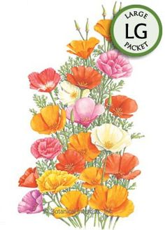 Annual. (Perennial in USDA zones 7-11). Our custom blend of poppies will dazzle your senses with a sea of orange, white, red, pink, and yellow blooms! Extremely drought tolerant, this poppy does well in poor soil, and with little care making it an ideal plant for naturalized, wildflower areas.  Deer resistant.