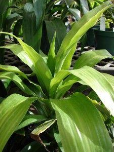Tuoksutraakkipuu (Dracaena fragrans)