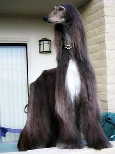 Animals And Pets, Cute Animals, Goofy Dog, Most Beautiful Dogs, Afghan Hound, Hyena, Italian Artist, Hound Dog, Dogs Of The World