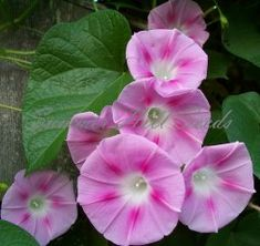 Pretty n Pink Morning Glory  This great vine produces loads of large candy-pink blooms throughout summer on 10-12 foot vines. Deep pink stars surround a clear white throat making the blooms pop against pretty heart-shpaed foliage. Easy to grow in full to part sun. Ideal for trellises, fences, and arbors. Pkt. 25