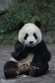 #Panda #cute,I don't always eat bamboo but when I do I do I eat every bit of it. Stay hungry my friends