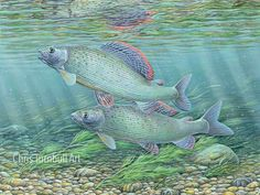 These are the galleries of the Giclee and Digital Lazer prints created by Chris Turnbull, well-known angling artist and illustrator. Favorite Pastime, Cute Creatures, Fish Art, Underwater Photography, Natural History, Art History, Galleries, Photo Art, Illustrator