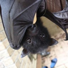 bat, animal, and cute image Bat Animal, Mundo Animal, Animals And Pets, Funny Animals, Cute Animals, Beautiful Creatures, Animals Beautiful, Animal Pictures, Cute Pictures