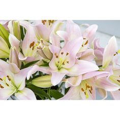 Lilies are so versatile, there's a color for every occasion. Which ones are your favorite? @stargazer_barn #stargazerbarn #lilies #cutflowers #americangrown #joy #shoppallen #mossmountainfarm #comeseeus #sharethebounty