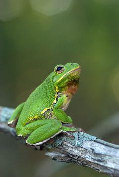 ˚Barking Tree Frog (Hyla gratiosa)