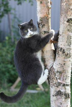 31 ideas funny cats fat kitty for 2019 - kitten's family Pretty Cats, Beautiful Cats, Animals Beautiful, Cute Animals, Animals Images, Cute Kittens, Cool Cats, Animal Gato, Cat Climbing