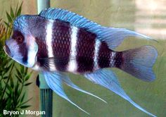 Cyphotilapia frontosa Kipili blue - Cichlid Lovers Picture Page
