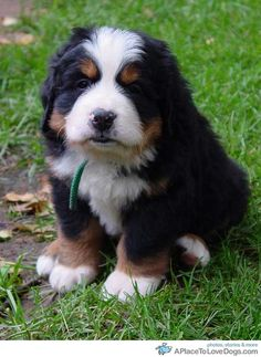 bernese mountain dog LOVE