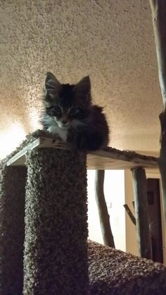 Gandalf, my maine coon kitten, sitting on his cat tower