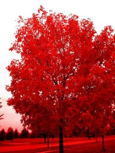 Red tree, red field