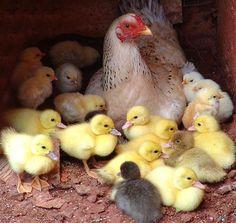 Mamá gallina con hijos naturales y adoptivos ✿ ❥ ❀ LOVE ✿ ❥ ❀