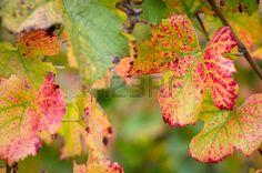 afbeelding herfst druivenbladeren - Google zoeken