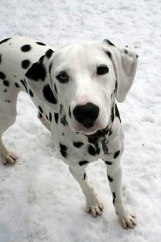 Dalmatian.~~He has an endless capacity for exercise and can be destructive when bored. Also, he's a notorious shedder with stiff fur that weaves its way into fabric (but not out). Sums up a Dal well.