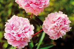 Peony 'Sarah Bernhardt`. The most common variety in Finland