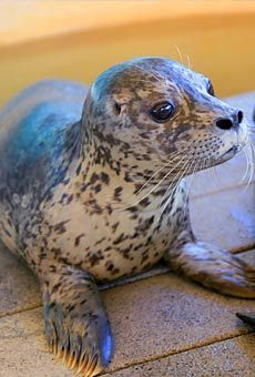 Image result for spotted pinnipeds