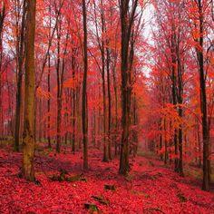 Colori dalla natura: il rosso acceso degli aceri!  #Nature 's Colors: #red #maple