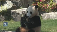 A pair of six-year-old giant panda twins and a four-year-old sibling will be returned to China on June 5 from a zoo in western Japan.  The zoo held a farewell ceremony for the three pandas on Sunday, attracting hundreds of fans and tourists from all parts of Japan.
