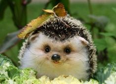 Funny pictures about Happy hedgehog is happy. Oh, and cool pics about Happy hedgehog is happy. Also, Happy hedgehog is happy. Cute Creatures, Beautiful Creatures, Animals Beautiful, Cute Baby Animals, Animals And Pets, Funny Animals, Happy Animals, Smiling Animals, Wild Animals