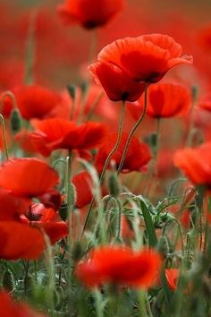 Premium-Poster Sommerferien in Portugal - Radu Bercan - Maci Red Poppies, Red Flowers, Pretty Flowers, My Flower, Flower Power, Photo D Art, Amazing Flowers, Plants, Photos