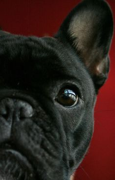 Frenchie face