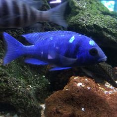 Finally starting to get his spots. This is a young male Placidochromis sp…