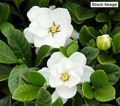 Cottage Hill Nursery Cottage Hill Gardenia 'Buttons', 3 - Quart Trade Gallon, 1 Piece, Evergreen Plant, U. Small Evergreen Shrubs, White Flowering Shrubs, White Gardens, Small Gardens, Vertical Gardens, Dwarf Gardenia, Garden Shrubs, Garden Plants, Backyard Plants