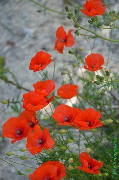 Bouquet de coquelicot | Flickr - Photo Sharing!
