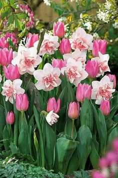 tulips garden care Ive never seen pink Daffodils before Beautiful Flowers, Spring Garden, Love Flowers, Flowers, Garden Bulbs, Daffodils, Tulips Garden, Flower Garden, Spring Flowers
