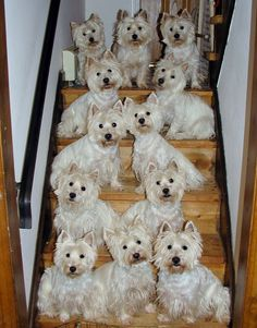* *> Too may Westies sittin' on the stairs, Too many waiting for that lucky break; Too many Wesies reachin' for a piece of cake, Too many hungry Westies losing weight . [Revision} Paul McCartney - [Revision of Too Many People
